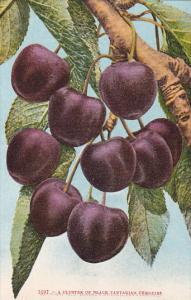 Cluster Of Black Tartarian Cherries Fruit by Edward Mitchell