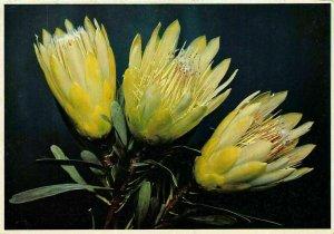 Repens Suikerbos White Flowers Postcard