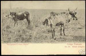 French Congo, Bétail Indigene, Cows (ca. 1899)