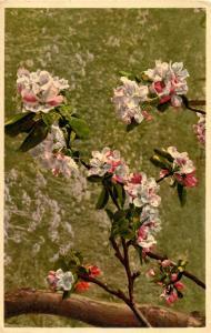 Flowers -  Apple Tree                             (Thor & Gyger #3211)