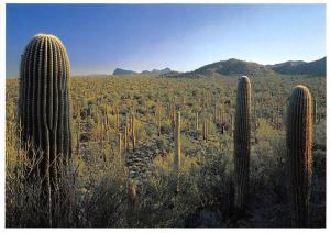 A Dense Stand of Saguaros Covers a Hillside, Cactus National Monument Arizona