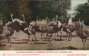 California Pasadena Ostriches Fighting At Cawston's Ostrich Farm