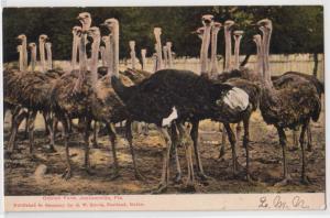 Ostrich Farm, Jacksonville FL