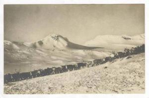 RP  Finse, Norway, 1910s Reindeer herd