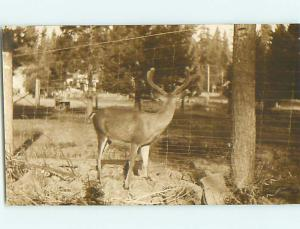 Pre-1930 rppc FENCED IN DEER BY THE FENCE r6137