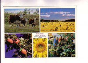 Fiveview, Cows, Market, Hay, Sunflower, Apples, Manitoba,