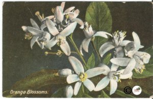 Orange Blossoms On The Road of a Thousand Wonders California Oranges 1912