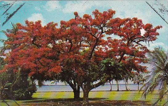 Trees Royal Poinciana Blooming Along The Caloosahatchee River Fort Myers Flor...