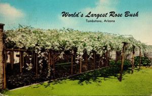 Arizona Tombstone World's Largest Rose Bush White Lady Banksia 1971