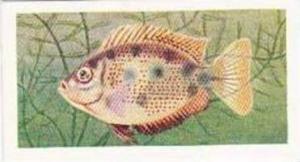 Mitchum Foods Vintage Trade Card Aquarium Fish 1957 2nd Series No 40 Orange C...