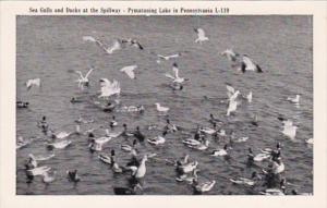 Pennsylvania Pymatuning Lake Sea Gulls and Ducks At The Spillway