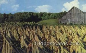 Harvesting Tobacco Farming Postcard Post Card  Harvesting Tobacco