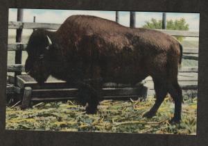 Giant Buffalo Black Barney Postcard Vintage Bison Oklahoma