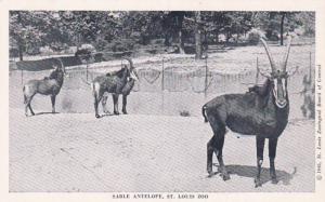 Missouri St Louis Zoo Sable Antelope