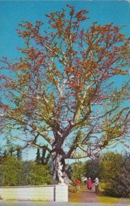 Florida The Kapok Tree at The Kapok Tree Inn Clearwater 1964