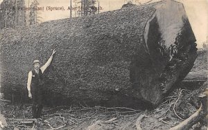 Logging Post Card Fallen Giant Spruce Aberden, Washington, USA 1908 Missing S...