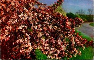 Jamaica Plain Japanese Crab Apple Arnold Arboretum Postcard unused (13702)
