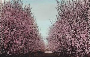 RP: Flowering trees , Canberra , Australia , 30-40s