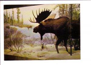 Moose Diorama, Provincial Museum, Victoria, British Columbia,