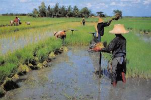 Thailand Farmers uproot rice seedlings for transplant on the other rice field...