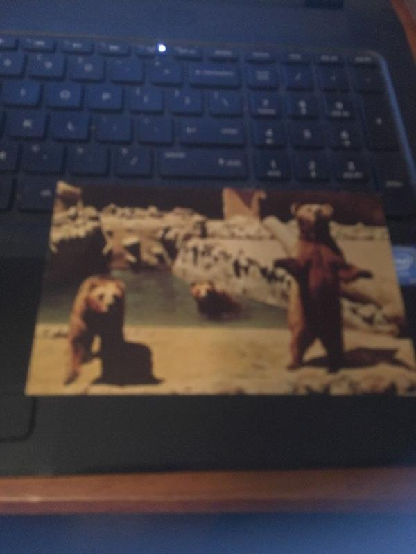 Vtg Postcard:  San Diego Zoo Brown Bears