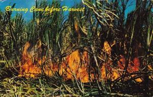 Hawaii Burning Sugar Cane Before Harvest