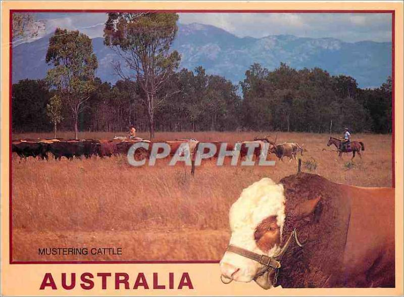 Modern Postcard Australia Mustering Cattle Outback