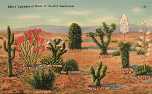 Vintage Postcard 1930s Many Varieties Of Cacti Of The Old Southwest Arizona AZ