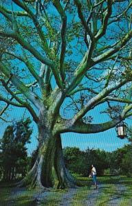 The Famous Kapok Tree Clearwater Florida