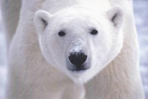 Polar Bear w/ Snow on Nose, Postcard #10