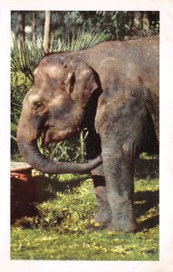 Elephant Post Card Indian Elephant San Diego, California, USA Unused