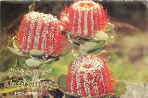 Banskia Coccinea flowers seasons greetings postcard Australia