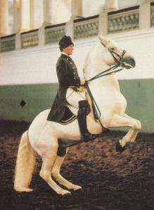 Levade Spanish Riding School Of Vienna Postcard