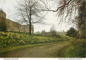 England Barnwell Castle side wall daffodils Postcard