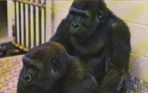 Gorillas Ruff and Tuff Calgary Zoo Alberta Canada