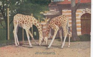 Giraffes feeding , NEW YORK CITY Zoo , 00-10s