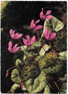 Austria - Osterreich.  Cyclamen flowers 1967 postmark