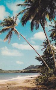 Graceful coconut palms shelter the white sand of Vigie Beach, St. Lucia, W.I,...