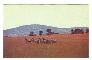 Les zebres, KAGERA , Rwanda , 40-60s