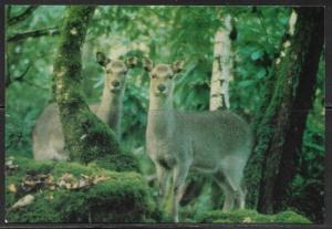 Ireland, Kerry, Kilarney National Park, Sika (deer), unused
