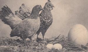 2 Chickens & Nest, B&W #2, 1901-07