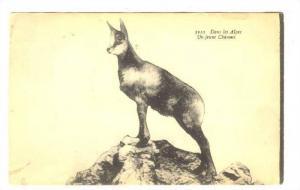 Dans les Alpes, Un jeune Chamois, Young Goat-Antelope, 00-10s