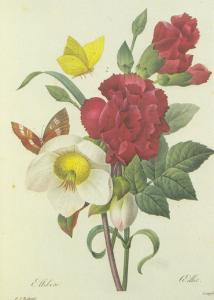 Oeillet Diantbus Caryophyllus French Flower Painting Postcard