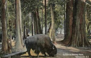 VANCOUVER, B.C., Canada; 1908 ; Buffalo in Stanley Park