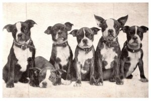 Dog , Boston Terriers , Meades Shoes Brooklyn new York