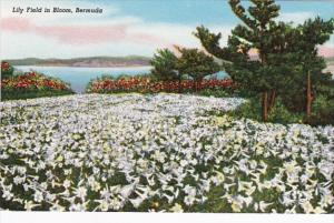 Bermuda Lily Field In Bloom
