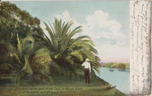 Mount Grove Plantation NEAR ORMOND - 1907 - Date Palms