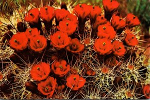 Arizona Strawberry Hedgehog Cactus