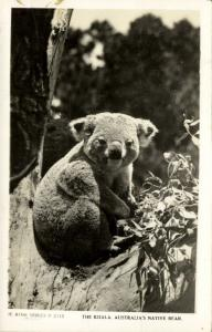 australia, Australian Native Bear, The Koala (1940s) RPPC