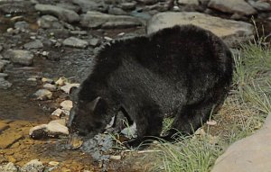 Bear Post Card Black Bear Pennsylvania, USA Unused